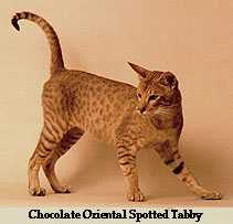 Oriental Spotted Tabby